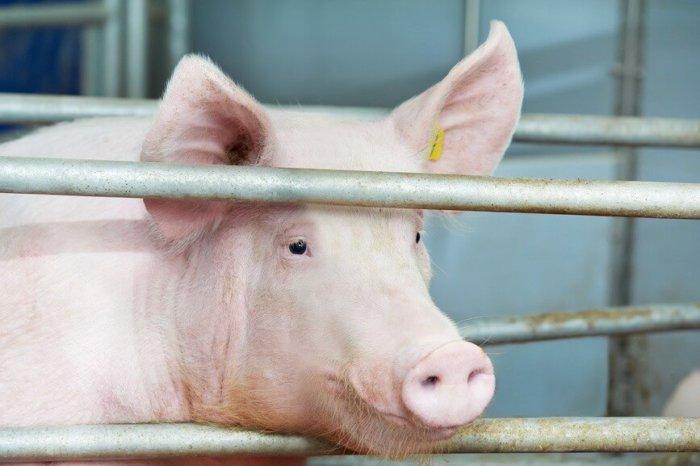Свинью помещают в отдельное помещение