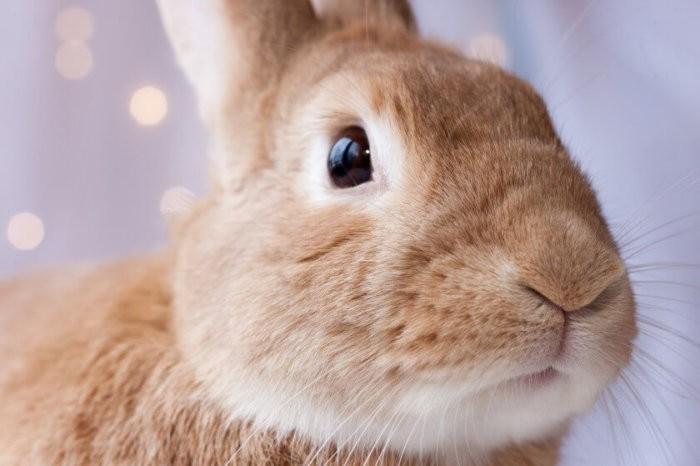Кролик для биологической пробы по Паулю
