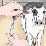 Внутримышечные уколы корове