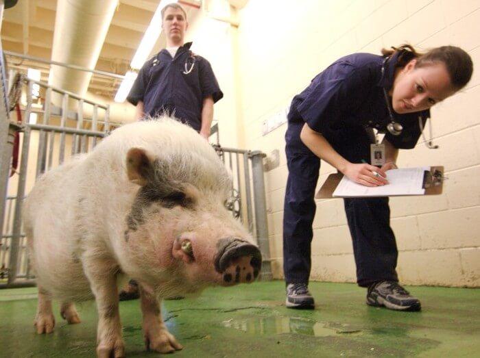 Зоотехник осматривает свиней