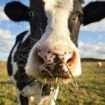 Кормление коровы
