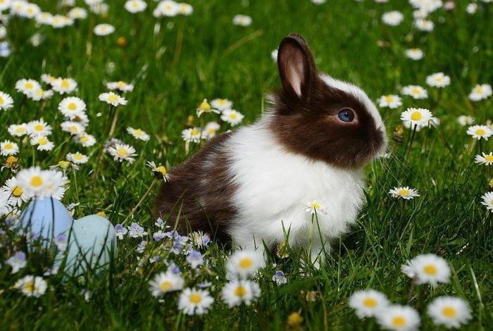Ромашка в рационе больного кролика