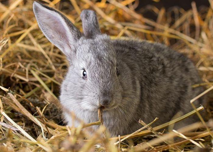 К окролу крольчиха начинает готовиться за несколько дней