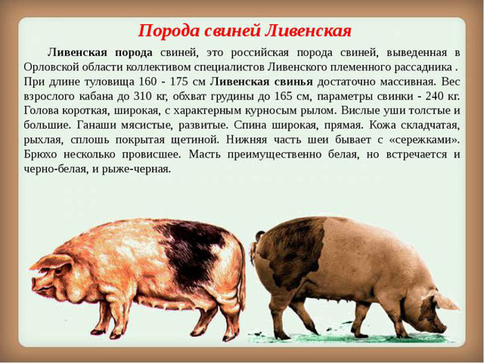 Порода свиней Ливенская