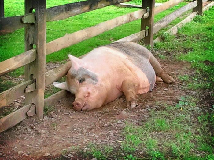 Свинья перед забоем