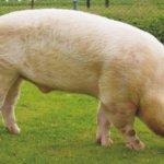 Самец Йоркширской породы