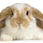 У кролика горят ушки