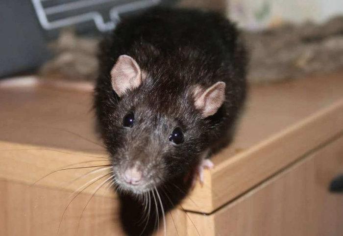 Крыса в свинарнике