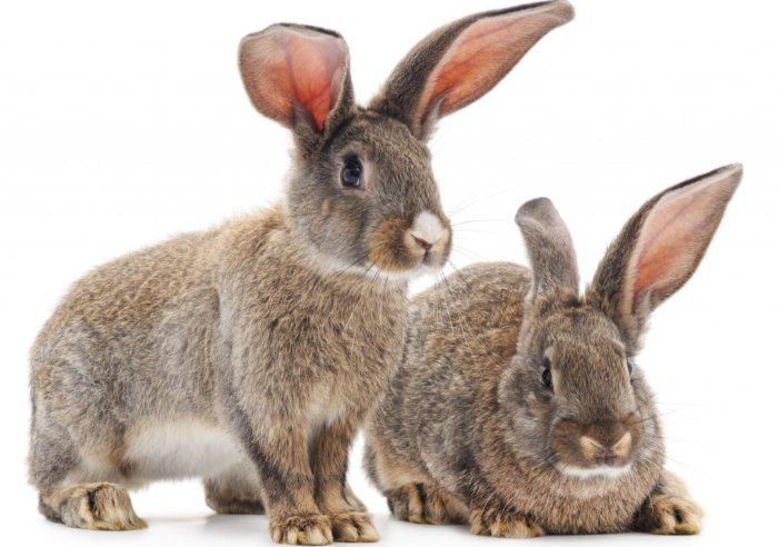 Заболевания ушей у кроликов
