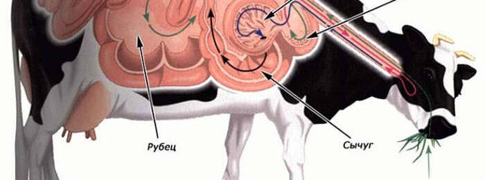 Строение пищеварительного тракта коровы