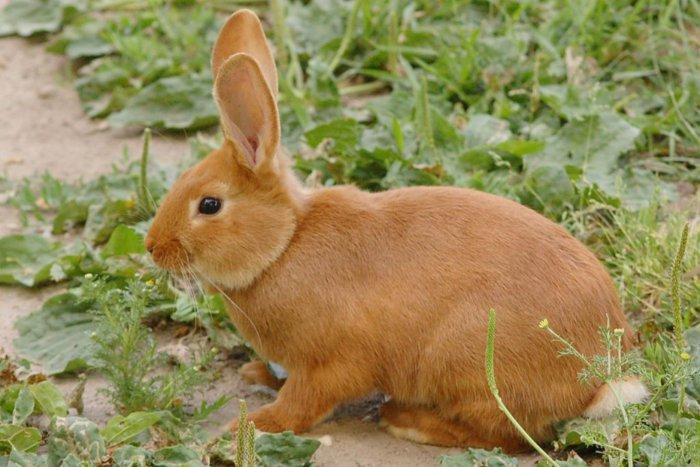 Понос у кроликов