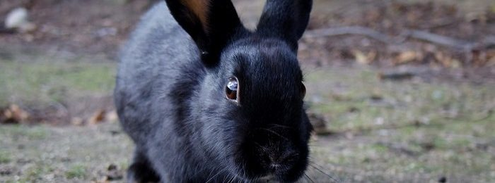 Кролик черного окраса