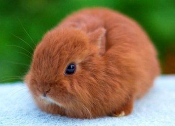 Кролики породы карликовая лиса