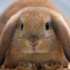 Кормящая крольчиха