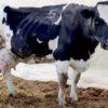 Корова, больная атонией