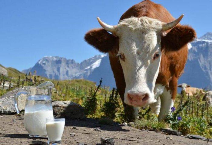 Надои коровы