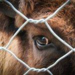 Корова с лептоспирозом
