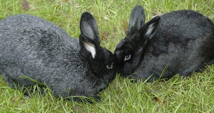 Два кролика породы Рекс