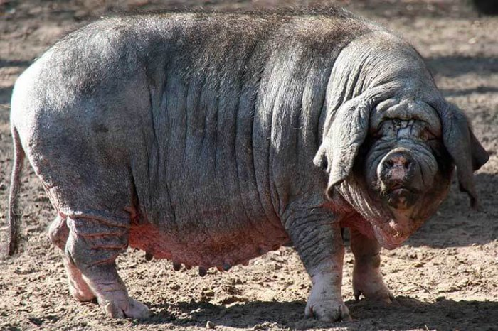 Китайская свинья мейшан