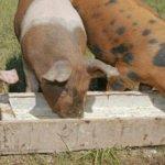 Размер корыта зависит от возраста свиней
