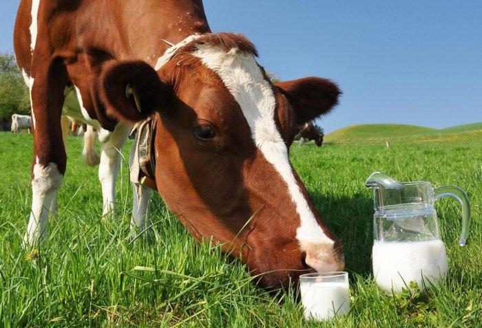 Надои у больной коровы снижаются
