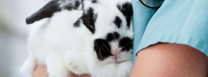 Кролик на осмотре у ветеринара