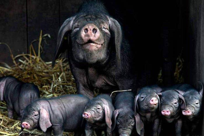 Свиноматка мейшан с потомством