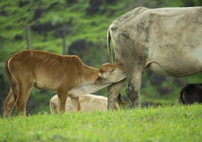 Теленок получает антитела матери с молоком