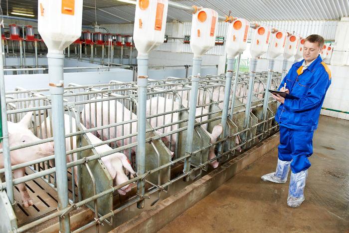 Автоматическая кормушка для свиней