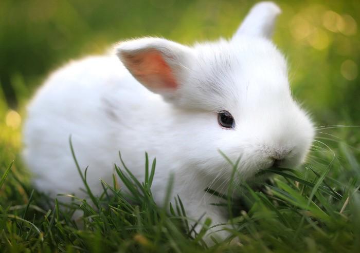 Кролик карликовая лиса белого окраса