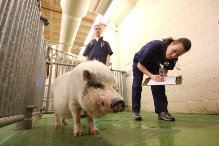 Ветеринар осматривает свинью