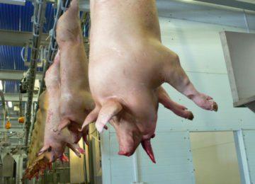 Процесс обескровливания свиной туши