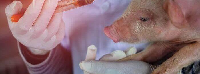 Вакцинация поросенка