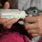 Кормление подросшего крольчонка