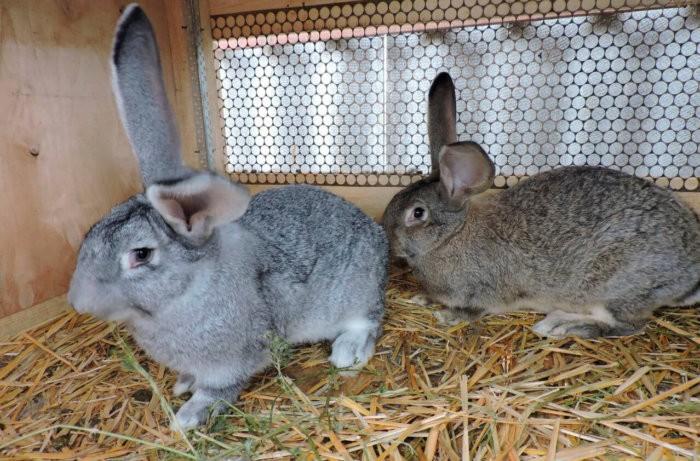 Кролики немецкой породы Ризен