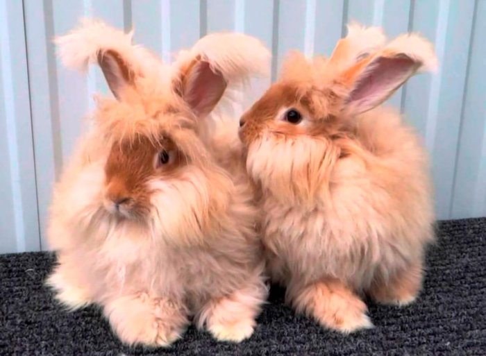 Внешний вид ангорских кроликов