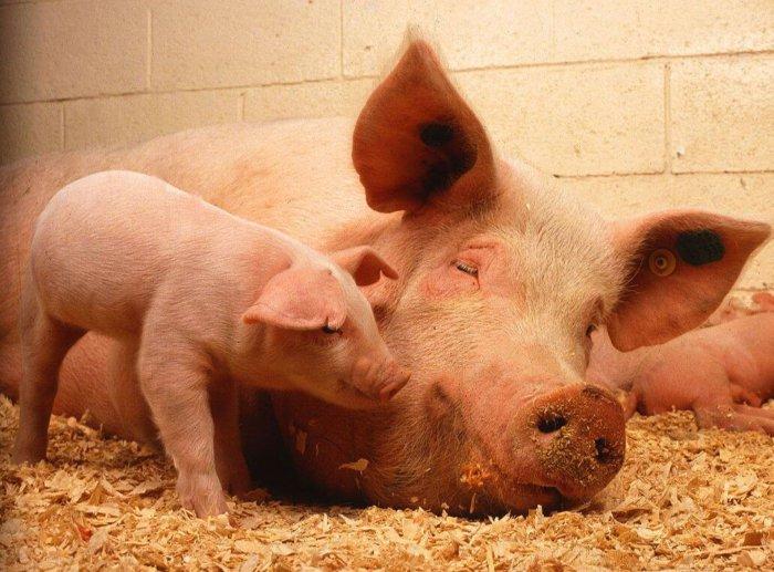 Свинья с приплодом
