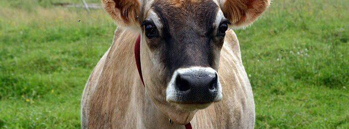 Джерсейская корова