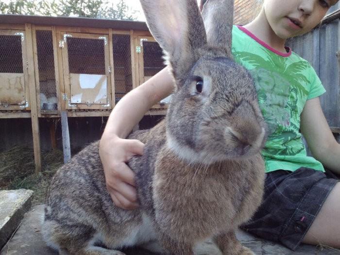 Кролики Обер