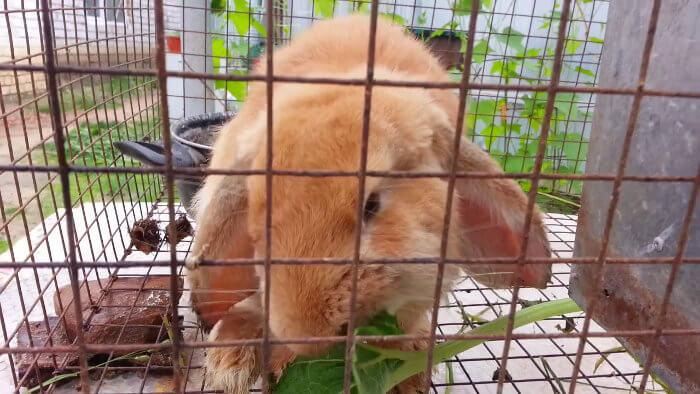 Кролик ест лопух