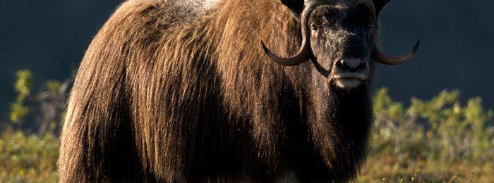 Мускусный канадский бык