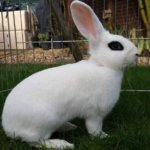 Кролик породы Карликовый Хотот