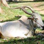 Описание коров зебу
