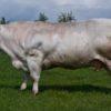 Корова бельгийская голубая