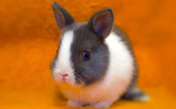 Порода карликовый голландский кролик