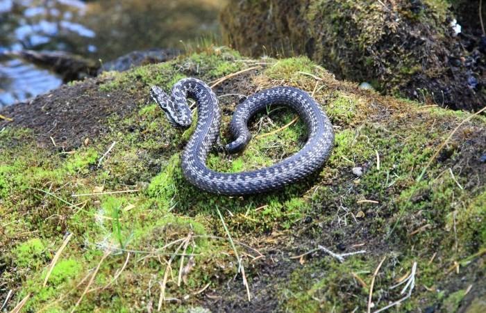Змеи водятся на пастбищах с камнями