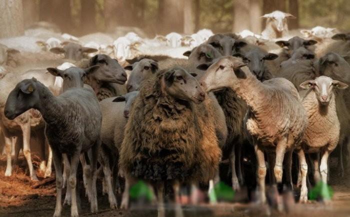 Облысение овец