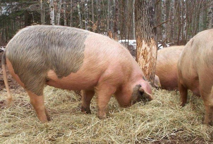 Свинья беременная во сне 91