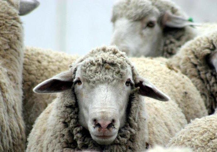Овцы, зараженные эстрозом
