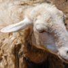 Чесоточный клещ у овцы